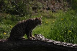 Wild Cat, BWC0005